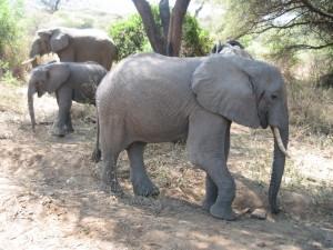 象の家族。
