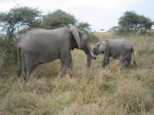 象の親子。