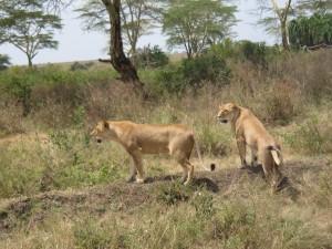 雌ライオン2頭。こちらをまったく無視している。