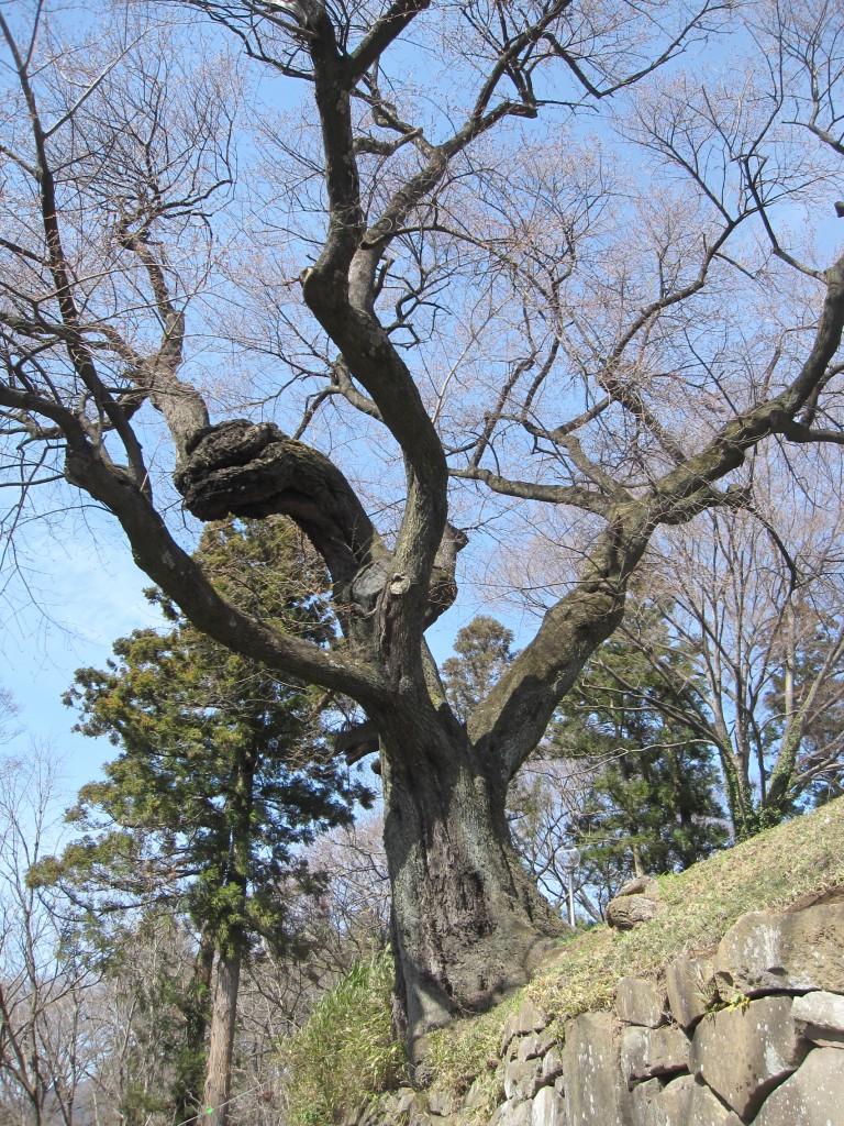 沼田公園の桜の木